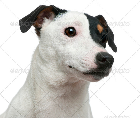 Close-up of Jack Russell Terrier in front of white background - Stock Photo - Images