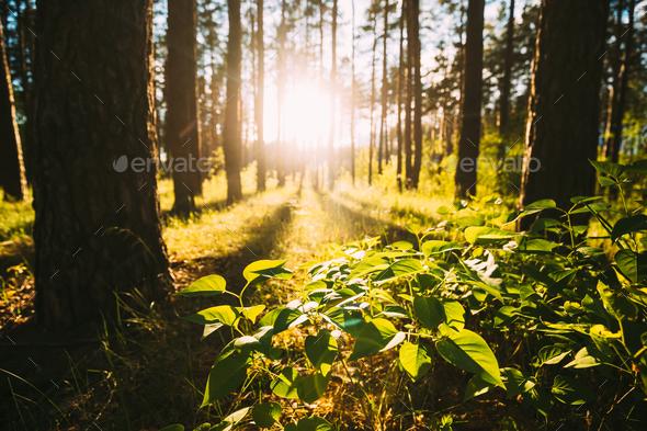 Fresh Spring Green Leaves Of Bush On Background Of Beautiful Sunset Sunrise - Stock Photo - Images