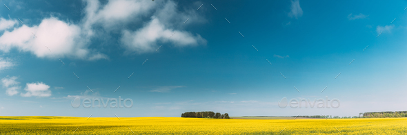 Clear SkyAbove Rural Landscape. Grove In Camola Colza Rapeseed Field. Agricultural Spring Field - Stock Photo - Images
