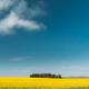 Clear SkyAbove Rural Landscape. Grove In Camola Colza Rapeseed Field. Agricultural Spring Field - PhotoDune Item for Sale