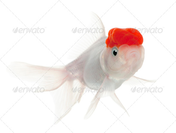 Lionhead goldfish, Carassius auratus, in front of white background - Stock Photo - Images