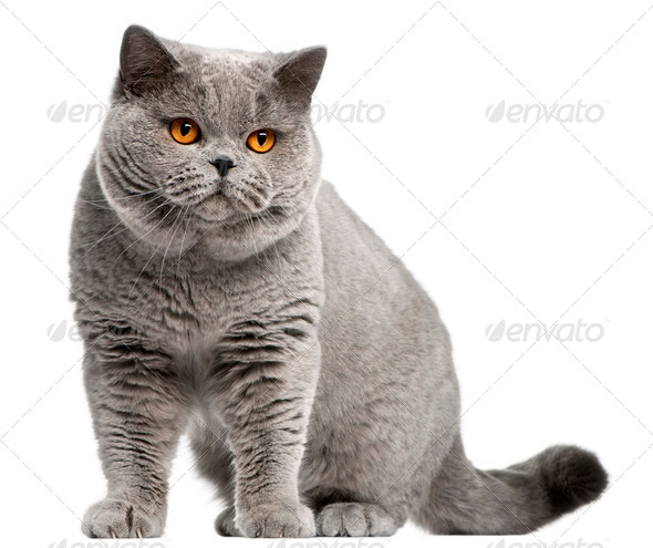 British Shorthair cat, 2 years old, in front of white background - Stock Photo - Images