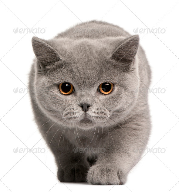 British Shorthair kitten, 4 months old, in front of white background - Stock Photo - Images