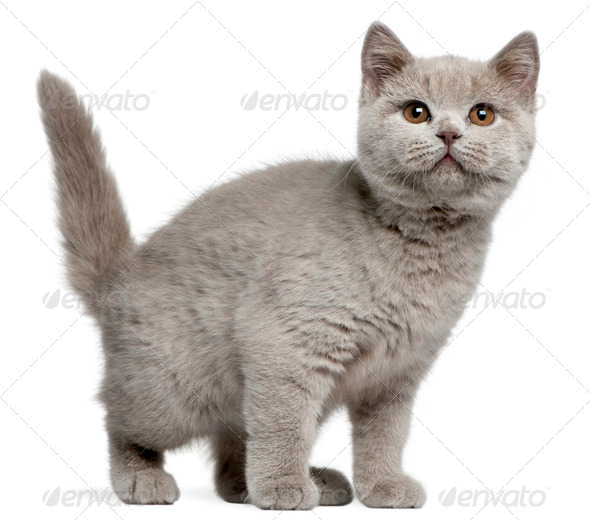 British Shorthair kitten, 3 months old, in front of white background - Stock Photo - Images