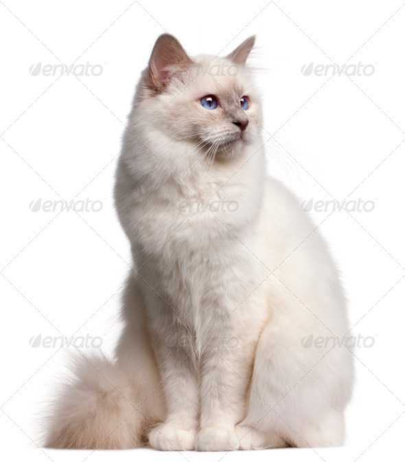 Birman cat, 9 months old, in front of white background - Stock Photo - Images
