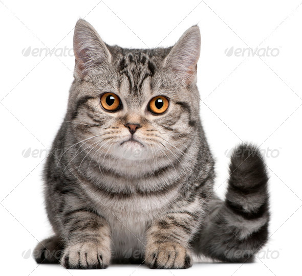 British Shorthair kitten, 5 months old, in front of white background - Stock Photo - Images