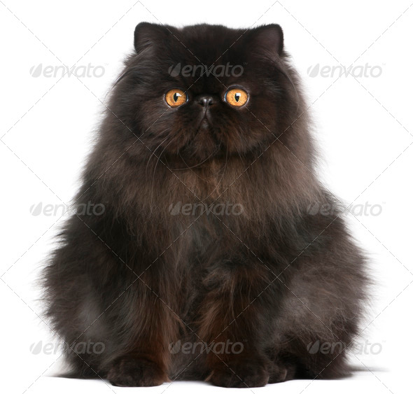 Persian cat, 9 months old, in front of white background - Stock Photo - Images