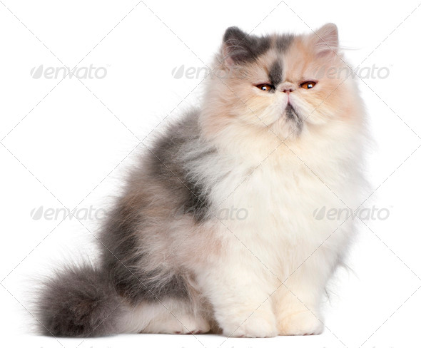 Persian kitten, 6 months old, in front of white background - Stock Photo - Images
