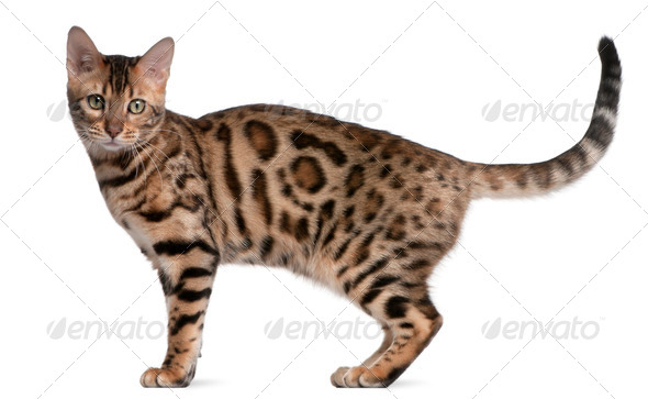 Bengal kitten, 5 months old, in front of white background - Stock Photo - Images