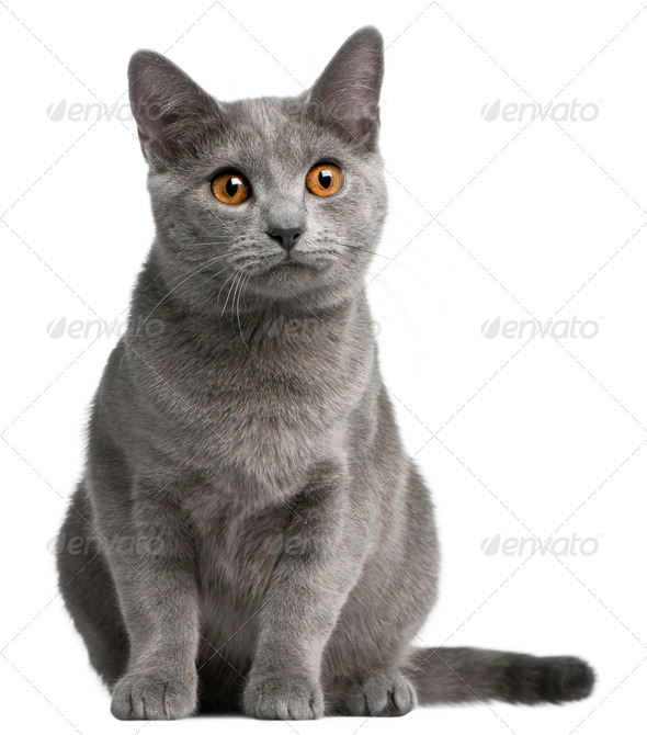 Chartreux kitten, 5 months old, in front of white background - Stock Photo - Images