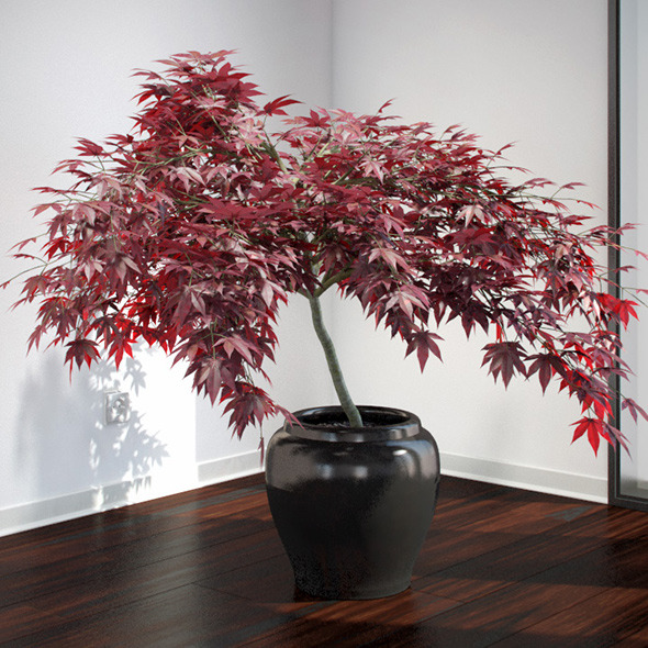 Japanese Maple - 3DOcean Item for Sale