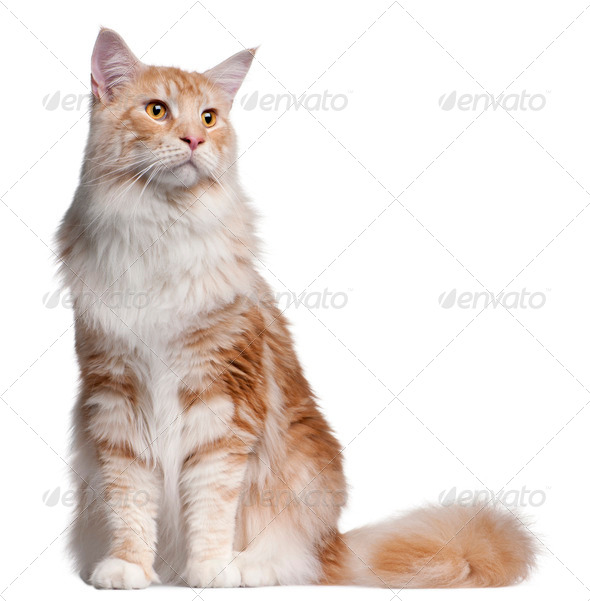 Maine Coon cat, 14 months old, in front of white background - Stock Photo - Images