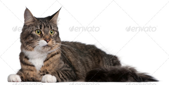 Maine Coon cat, 2 years old, in front of white background - Stock Photo - Images