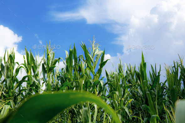 Corn tree with blue sky - Stock Photo - Images