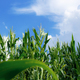 Corn tree with blue sky - PhotoDune Item for Sale