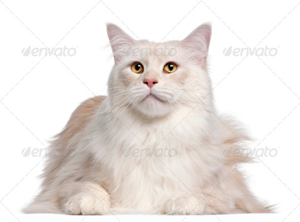 Maine Coon cat, 3 years old, in front of white background - Stock Photo - Images
