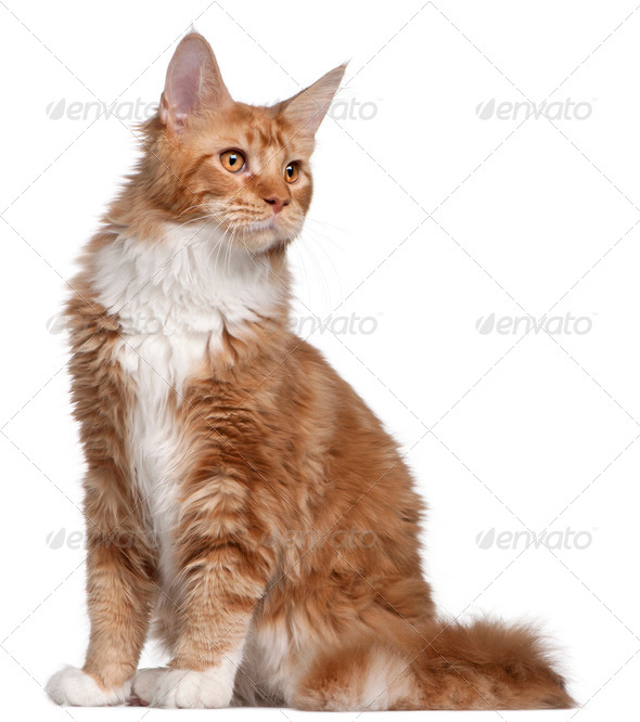 Maine Coon kitten, 7 months old, in front of white background - Stock Photo - Images