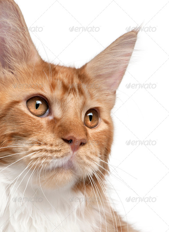 Close-up of Maine Coon kitten, 7 months old, in front of white background - Stock Photo - Images