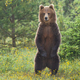 Majestic brown bear standing upright on glade in summer forest - PhotoDune Item for Sale