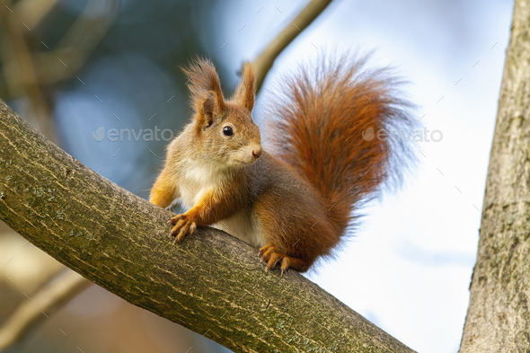 Curious red squirrel sitting on tree in autumn nature - Stock Photo - Images