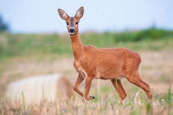 Roe deer doe standing on hay field in summer nature - Stock Photo - Images