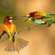 Two european bee-eater fighting on bough in summer - PhotoDune Item for Sale