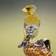 European greenfinch sitting on sunflower in autumn - PhotoDune Item for Sale