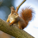 Curious red squirrel sitting on tree in autumn nature - PhotoDune Item for Sale