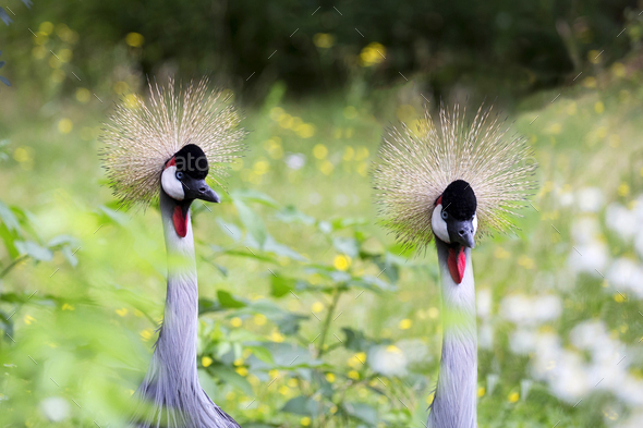 Crowned cranes in a clearing - Stock Photo - Images