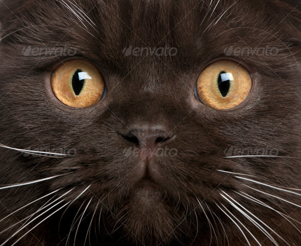 Close-up of Scottish Fold kitten, 8 months old - Stock Photo - Images