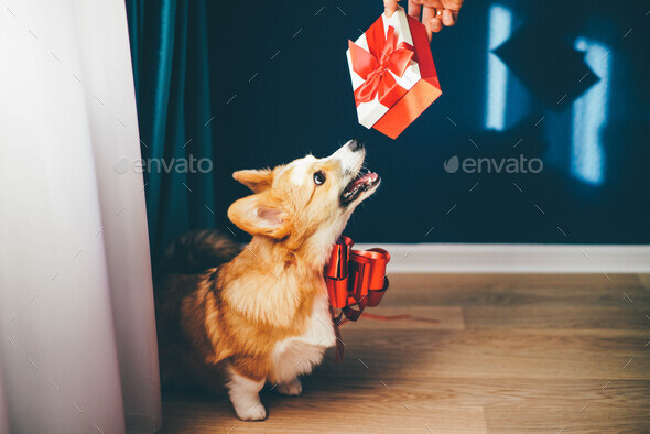 Corgi puppy with a red bow waiting to be given as a present. - Stock Photo - Images