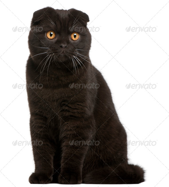 Scottish Fold Kitten, 8 months old, in front of white background - Stock Photo - Images