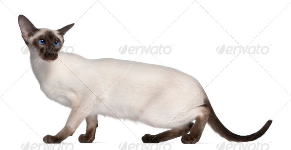 Siamese kitten, 7 months old, in front of white background - Stock Photo - Images