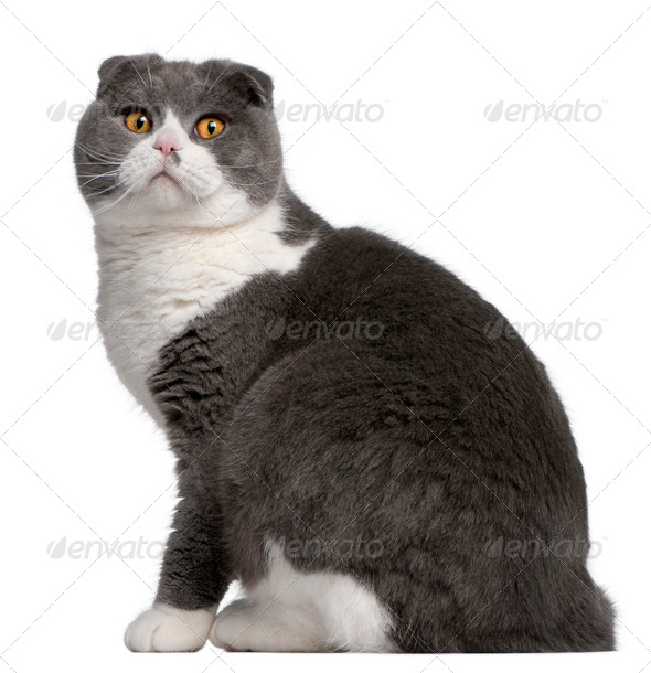 Scottish Fold cat, 1 year old, in front of white background - Stock Photo - Images
