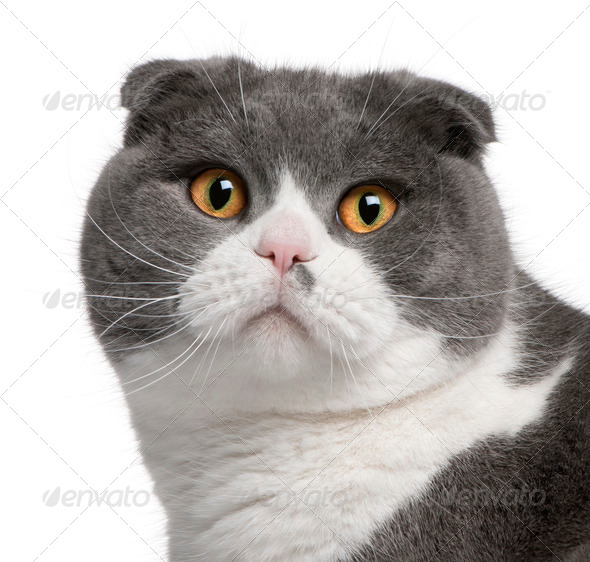 Close-up of Scottish Fold cat, 1 year old, in front of white background - Stock Photo - Images