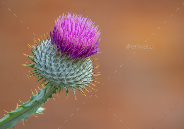 Isolate Purple Thistle - Stock Photo - Images