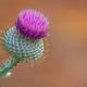 Isolate Purple Thistle - PhotoDune Item for Sale