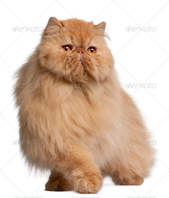 Persian cat, 3 years old, in front of white background - Stock Photo - Images