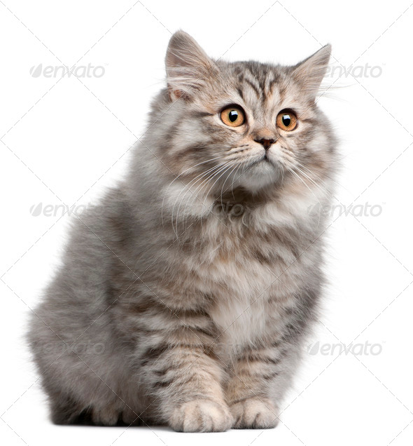 British Longhair kitten, 4 months old, in front of white background - Stock Photo - Images