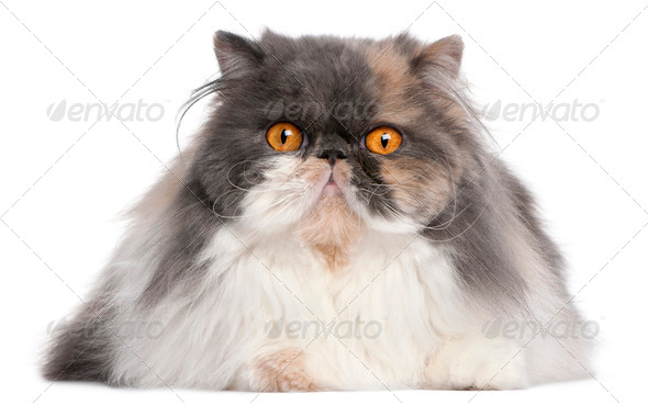 Persian cat, 18 months old, in front of white background - Stock Photo - Images