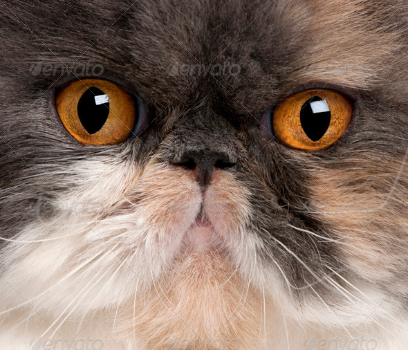 Close-up of Persian cat, 18 months old - Stock Photo - Images
