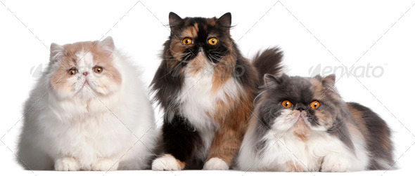 Persian cats in front of white background - Stock Photo - Images