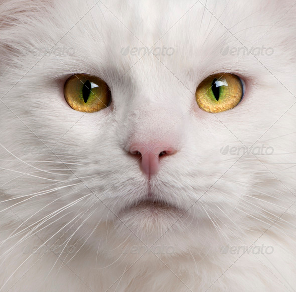Close-up of Maine Coon cat, 3 years old - Stock Photo - Images