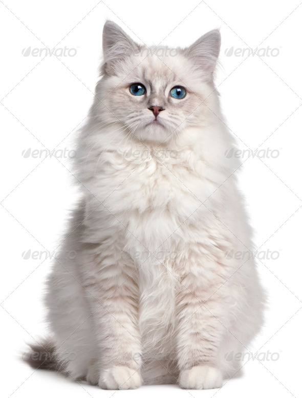Ragdoll kitten, 5 months old, in front of white background - Stock Photo - Images