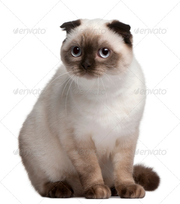 Scottish Fold cat, 11 months old, in front of white background - Stock Photo - Images