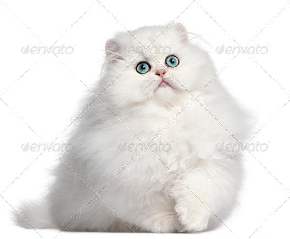 Persian kitten, 4 months old, in front of white background - Stock Photo - Images