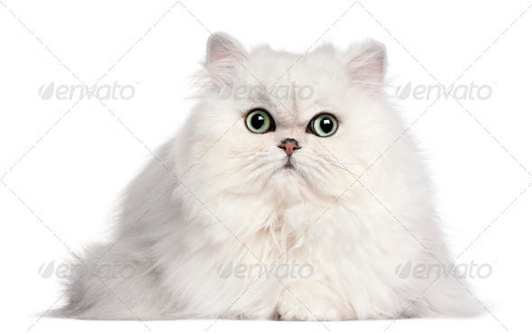 Persian cat, 2 years old, in front of white background - Stock Photo - Images