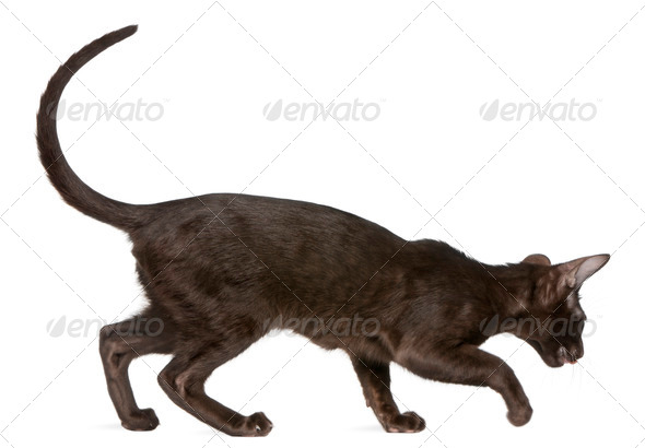 Oriental Shorthair kitten, 5 months old, walking in front of white background - Stock Photo - Images
