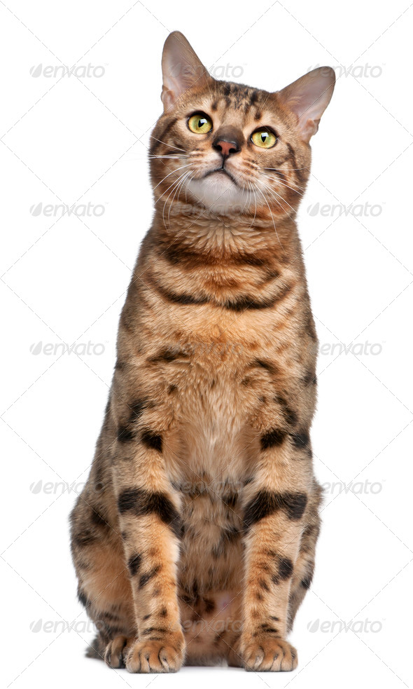 Bengal cat, 1 year old, in front of white background - Stock Photo - Images