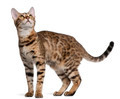 Bengal kitten, 6 months old, in front of white background